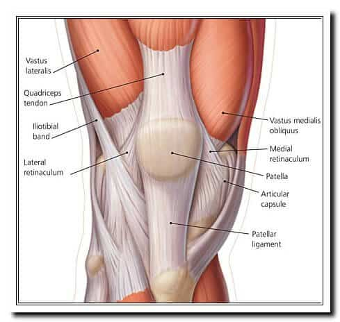 Medical Anatomy Image Chart of Quadriceps Muscles and Tendons